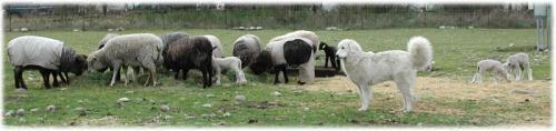 tatra-sheep